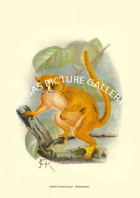 Fine art print of the Smith's Dwarf Lemur - Madagascar by Johannes Gerardus Keulemans (1896)
